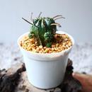 ユーフォルビア  バリダ    Euphorbia valida   no.102825
