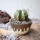 ユーフォルビア  バリダ   no.030   Euphorbia valida