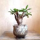 ユーフォルビア    イトレメンシス  no.04    Euphorbia itremensis