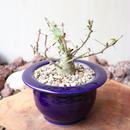 フォークイエリア   コルムナリス   no.005  Fouquieria columnari