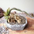 ユーフォルビア ステラータ   no.004    Euphorbia stellata