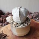 アストロフィツム  白ランポー玉   no.001     Astrophytum coahuilens
