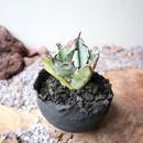 """アガベ チタノタ ブルー&ブラック   子株   no.007  agave titanota """"blac & blue"""""""