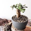 ユーフォルビア ステラータ   no.006     Euphorbia stellata