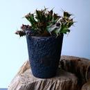 ユーフォルビア   グロエネワルディ   Euphorbia groenewaldii  No.023