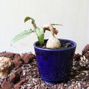 ユーフォルビア   スザンナエ   マルニエラエ no.005   Euphorbia suzannae-marnierae