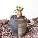 ケラリア  ピグマエア  no.011  Ceraria pygmaea