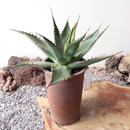 Agave   Shawii   no.001