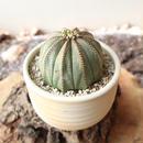 ユーフォルビア  オベサ   no.061    Euphorbia obesa