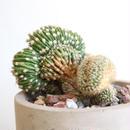 エキノプシス    エイリエシィ Echinopsis eyriesii
