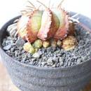 ユーフォルビア  バリダ   no.039  Euphorbia valida
