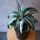アガベ アメリカーナ ドワーフ myodepicta Agave americana var. medio-picta 'Dwarf Alba'   no.29
