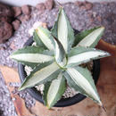 "Agave  ""mode Picts alba"" dwarf    no.002"