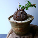 ディオスコレア   亀甲竜    Dioscorea elephantipe  No.002