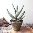 アロエ    マルロシー   鬼切丸    no.001  Aloe marlothii