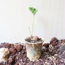 ぺラルゴニウム  ロバツム   no.001    Pelargonium lobatum