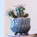 ユーフォルビア  フェロックス    no.001    Euphorbia ferox