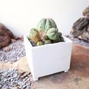 ユーフォルビア  仔吹きオベサ    ×   白石  陽一     Euphorbia obesa