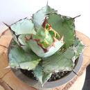 """アガベ   チタノタ  ブルー&ブラック   no.002  agave titanota """"blac  & blue"""""""