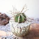ユーフォルビア  バリダ   no.031   Euphorbia valida
