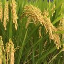 〜玄米〜🌾有機無農薬栽培 啓造さんのおこめ5kg🌾