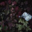 """ポストカード """"White Roses""""  (Al-Andalus)"""
