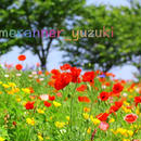 ポピーの咲く草原の写真