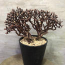 ペラルゴニウム ミラビレ 30  塊根植物 コーデックス 現地球