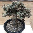 パキポディウム グラキリス 綴下  塊根植物 コーデックス