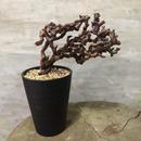 ペラルゴニウム ミラビレ 31  塊根植物 コーデックス