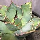 アガベ チタノタ 白鯨 (チタノータ) agave titanota
