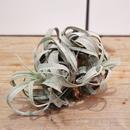 Tillandsia streptophylla チランジア ストレプトフィラ クランプ
