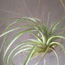 Tillandsia  Avatar Nuevo (jalisco-monticola × rothii)