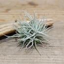 Tillandsia chusgonensis clump シュスゴネンシス クランプ