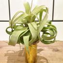 Tillandsia streptophylla チランジア ストレプトフィラ Lサイズ