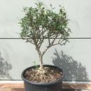 Wild Olive ワイルドオリーブ