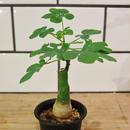 Adenia glauca アデニア・グラウカ