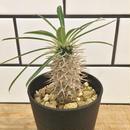 Pachypodium lamerei パキポディウム・ラメリー