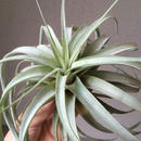 Tillandsia Lady Luck (Xerographica x Concolor Red Prince)