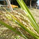 【2017年米】  うきは産 無肥料・自然米 ひのひかり【玄米】10kg