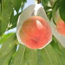 《配送のみ》◇贈答品◇ 特別栽培の木成り完熟!伊東さんの「桃」2kg