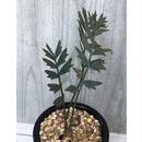 Encephalasrtos horridus エンセファラルトス  ホリダス