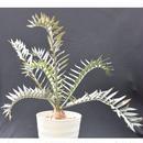 希少 Encephalartos horridus エンセファラルトス ホリダス 姫鬼蘇鉄 南アフリカ