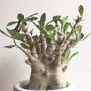pachypodium saundersii  パキポディウム  サウンデルシー サンデルシー