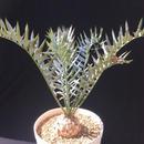 Encephalartos horridus エンセファラルトス  ホリダス