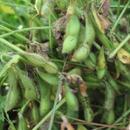 【期間限定】丹波黒大豆枝豆1kg(さやのみ)【出荷当日に収穫いたします】10月だけのお楽しみ♪