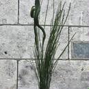 石化エニシダ5本束