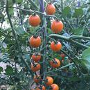 オレンジ千果(オレンジ) 1kg 6~7月、9~10月限定