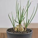 Ornithogalum juncifolium   3012141