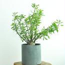 Fouquieria purpusi×fasiculata